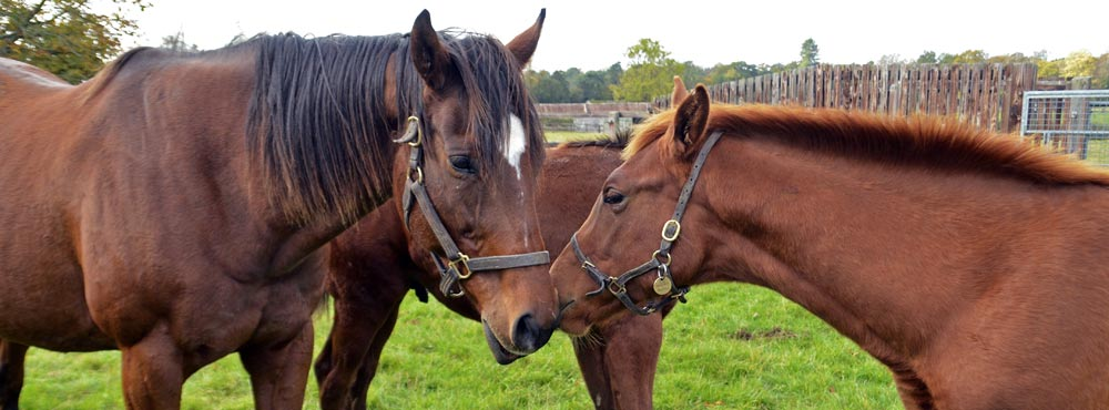 mare and foal, heatherwold stud berkshire