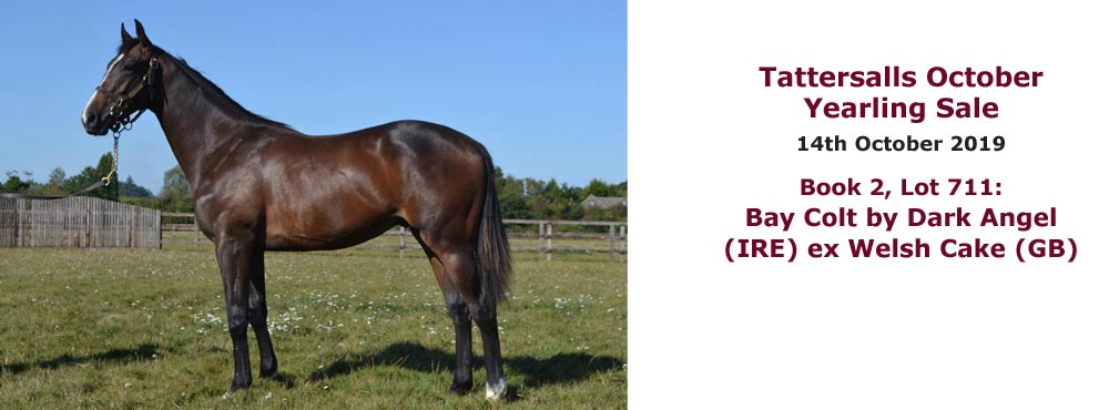 Sales profile Bay Colt by Dark Angel (IRE) ex Welsh Cake (GB) 14 Oct 2019 Tattersalls October Yearling Sales